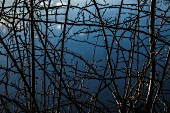 Silhouette of thorn bush branches against foggy background