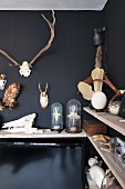 Collection of hunting trophies hung on black-painted wall, on wooden shelves and under glass covers