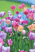 Mixed pastel tulips