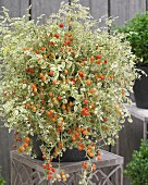 Decorative potted tomato plant