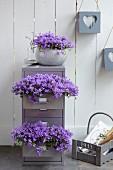 Schubladen eines Metallschränkchens dekorativ bepflanzt mit violett blühenden Glockenblumen