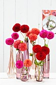 Mixture of pompon dahlias