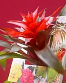 Rote Blüte einer Guzmania Revolution (Bromelie)