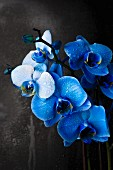 Blue orchids in front of grey wall