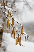 Hazel catkins hanging from branches in winter landscape
