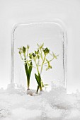Two star-of-Bethlehem plants frozen into a block of ice surrounded by snow