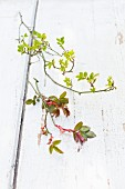 Branches of two types of rose with spring foliage on wooden surface with peeling white paint