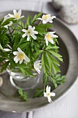 Posy of wood anemones on pewter plate