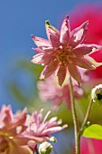 Pale pink aquilegia flowers against blue sky