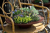 Rusty dish planted with alpines on metal chair with peeling paint in garden
