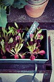 Feldsalatpflänzchen in Pflanzschale mit beschriftetem Pflanzenstecker