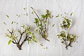 Auf Leinentuch liegende Birnen-, Zwetschgen- und Kirschblüten am Zweig