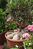 Small olive tree in terracotta pot dressed with large pebbles in garden