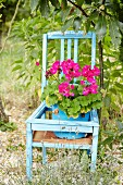 Pink potted geranium on blue wooden chair in garden
