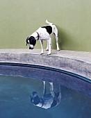 Dog on edge of concrete pool