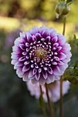 Purple dahlia in garden