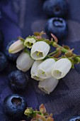 Blueberries and blueberry flowers (close-up)