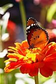 Butterfly on orange zinnia