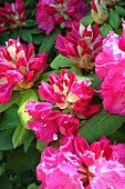 Pink-flowering patio rhododendron from the Himalayas in garden