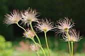 Pasqueflower seedheads in garden