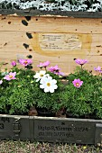 White and pink cosmos (Cosmea) in old wooden crates with edelweiss in background