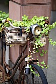 Old bicycle with ivy in basket