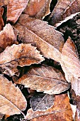 Frozen leaf litter (chestnut leaves)