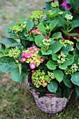 Hydrangea planted in basket
