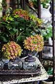 Hydrangea of variety 'Schloss Wackerbarth' on vintage table and glass jars on metal tray