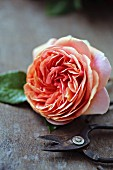 Rose of variety 'Chippendale' and vintage shears