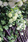 Common snowball or (Viburnum opulus - also known as European snowball or Guelder rose) growing against wooden fence