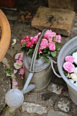 English roses in watering can