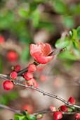 Flowering shrub in spring garden