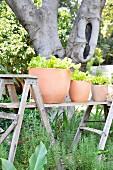 Terracotta pots of baby leaf lettuce on improvised table in garden
