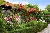 Niedrige Buchshecken mit prächtig blühenden Rosen und Rankpflanzen am Kiesweg vor einem Gartenhaus