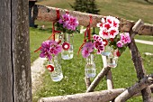 Bicoloured geraniums in small swing-top bottles hung on wooden fence