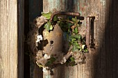 Autumnal wreath of ivy, sea lavender and travellers' joy on weathered wooden door