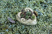 Ceramic love-heart planted with Sempervivum lying on frosty moss