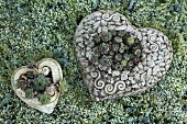 Ceramic love-hearts planted with Sempervivum lying on frosty moss