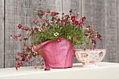 Mit rosarotem Dekopapier umwickelte, blühende Topfpflanze und rot-weisse Schale