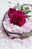 Pinkfarbene Pfingstrosenblüte & lose Blütenblätter auf Jugendstiltablett