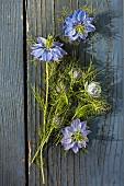 Blühende Jungfer im Grünen (Nigella damascena) auf Holzuntergrund