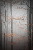 Misty, autumnal beech woods
