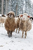 Sheep in winter pasture in front of spruce woodland
