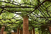 Brick pillars with capitals supporting spider-web pergola of branches in gardens of Villa Cimbrone in Italy
