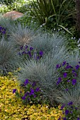 Blue fescue (Festuca cinere), blue star creeper (Pratia pedunculata) and creeping Jenny (Lysimachia nummularia) in garden