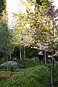 Bed of foliage plants in sunlight and Japanese flowering cherry in foreground