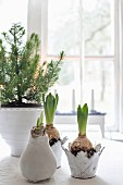 Hyacinths and small tree in decorative planters