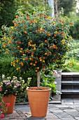 Wandelröschen (Lantana Camara) im Blumentopf auf Terrasse