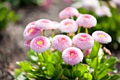 Pink, double bellis of the variety 'Pomponette' in flowerbed